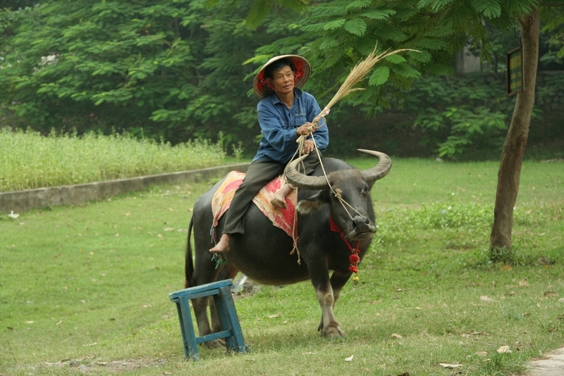Man with his water buffalo.