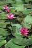 Lotus flowers, Vietnam