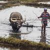Water buffalo in rice paddy near Hoi An