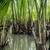 Water Coconut palms