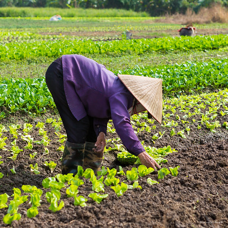 Agriculture Vietnamienne