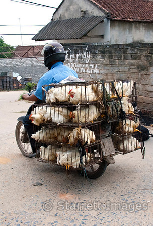 mass chicken transport