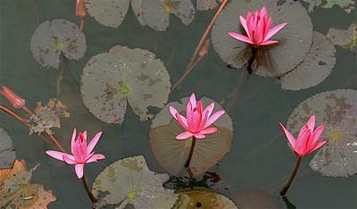 Lotusbloemen. Hué, Vietnam.