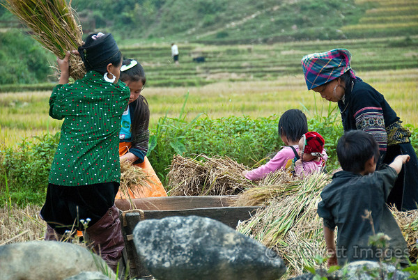 Black H'mong family harvesting