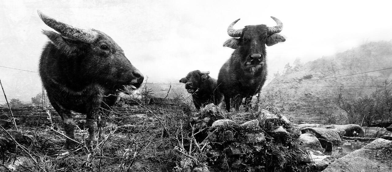 Some local livestock.