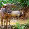 Water Buffalo tied in the field