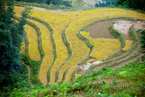 Rice terraces, ready to harvest