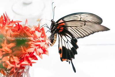 Butterfly closeup. Swallowtail.