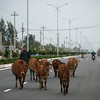 This man herds cows down the main 4-lane coastal highway linking Danang and Hoi An.