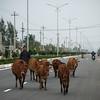 This man herds cows down the main 4-lane coastal highway linking Danang and Hoi An.