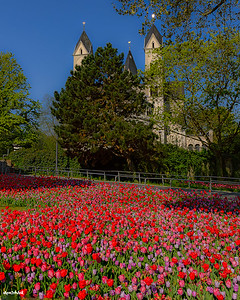 Tulips along The Rhine