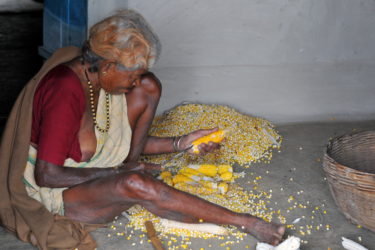 Old lady removing corn for drying.<br /> Villages in rural India in the state of Maharashtra.