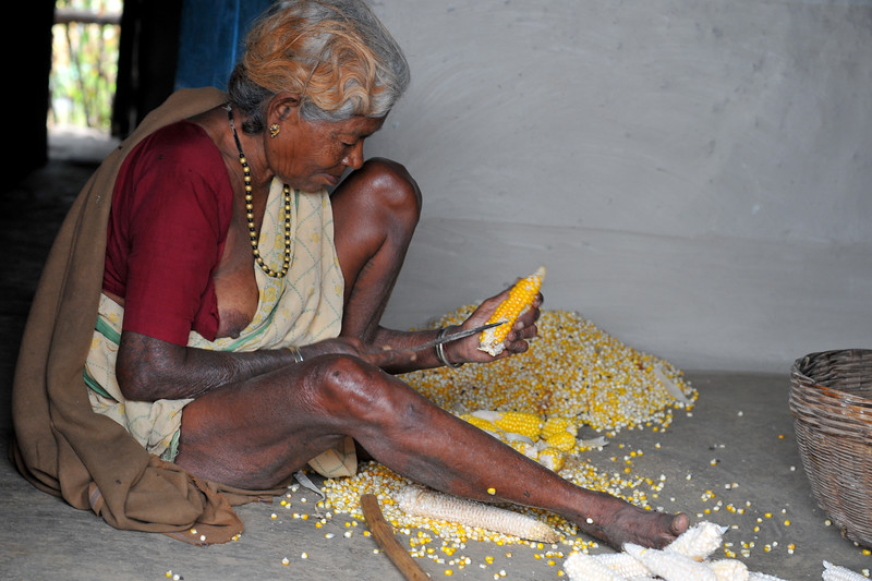 Old lady removing corn for drying. Villages in rural India in the state of Maharashtra.