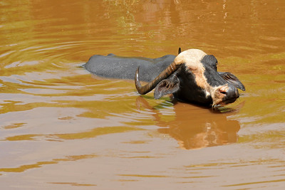 Buffaloes in water. Villages in rural India in the state of Maharashtra.