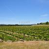Vineyards in Sonoma.