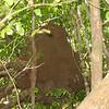 Termite Nest!!