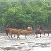 Cows at Gun Creek