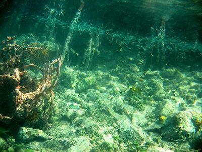 Mangrove&Coral_0296