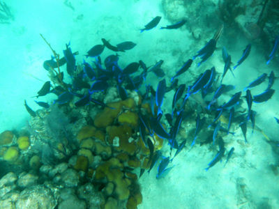 BlueTangFeedingFrenzy_213
