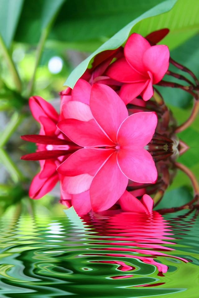 Hot Pink Plumeria Flooded