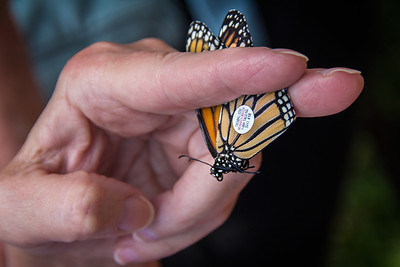 Barrie's Monarch