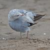 Ring-billed Gull Preening