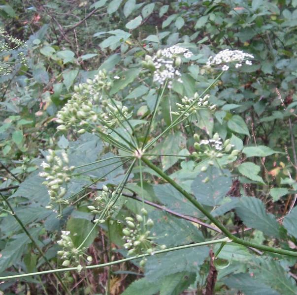 Unknown Plant - Allen Creek Nature Preserve - Nellysford, VA