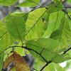 Leaves Look Similar to Chestnut Oak So May Not Be Identified as a Chestnut Tree in a Forest