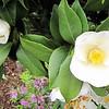 Camellias at Constantia House - Town of Suffolk, VA  4-9-11