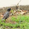 European Starling Gathering Nesting Materials - Downtown Suffolk, VA  4-9-11