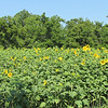 Sunflowers Are So Bright and Cheerful - Berkeley Plantation, Charles City, Virginia  7-27-11