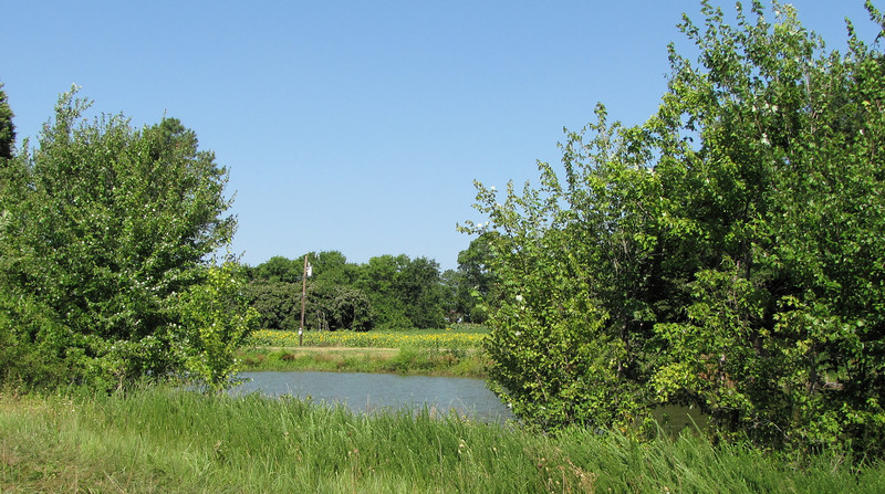 A Pond Along the Way From Parking to the Release Site - Berkeley Plantation, Charles City, Virginia  7-27-11