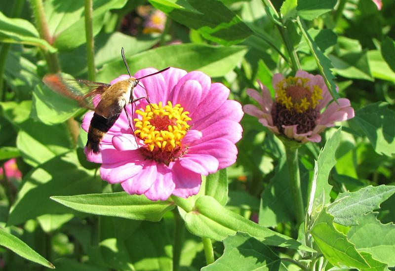 Snowberry Clearwing Hummingbird Moth on Zinnia - Berkeley Plantation, Charles City, Virginia  7-27-11