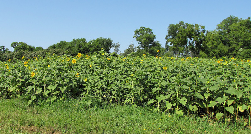 Field of Sunflowers - Berkeley Plantation, Charles City, Virginia  7-27-11