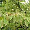 Dogwood Tree - Ash Lawn Highland - James Monroe's Home - Charlottesville, VA  9-3-10