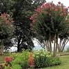 Crape Myrtle Color Was Brilliant - Ash Lawn Highland - James Monroe's Home - Charlottesville, VA  9-3-10