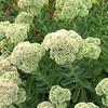 White Sedum Beginning to Bloom - Ash Lawn Highland - James Monroe's Home - Charlottesville, VA  9-3-10