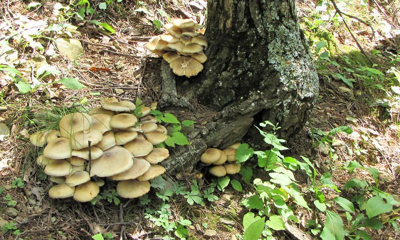 Mushrooms - Greenstone Overlook Trail - Milepost 9 Blue Ridge Parkway  9-3-10