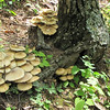 Mushrooms - Greenstone Overlook Trail - Milepost 9 Blue Ridge Parkway  9-3-10