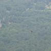 Blue Ridge Parkway - Raven's Roost Overlook with Raptor Flying