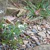 Blue Ridge Parkway - Raven's Roost Overlook Flowers