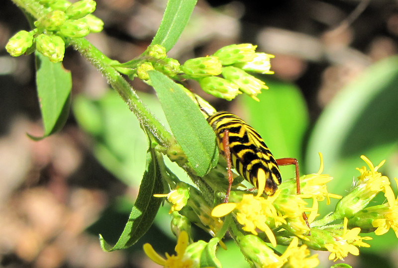 Locust Borer on Goldenrod - Greenstone Overlook Trail - Milepost 9 Blue Ridge Parkway  9-3-10<br /> This species is expanding its range as locust trees become more widely used as ornamentals.  It's not a good bug.