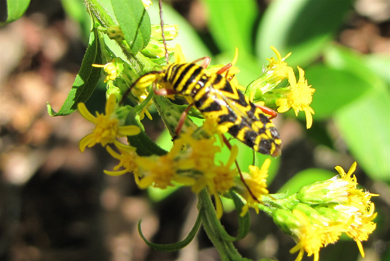 Locust Borer, Megacyllene robiniae, on Goldenrod - Greenstone Overlook Trail - Milepost 9 Blue Ridge Parkway  9-3-10<br /> The larvae of these bugs bore into the heartwood of living locust trees.  This is an adult.