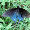 Male Pipevine Swallowtail Butterfly - Humpback Rocks Visitors Center - Milepost 5.8 - Blue Ridge Parkway  9-3-10