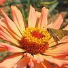 Male Sachem Skipper Butterfly on Zinnia - Humpback Rocks Visitors Center - Milepost 5.8 - Blue Ridge Parkway  9-3-10