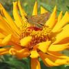 Sachem Skipper Butterfly on Zinnia - Humpback Rocks Visitors Center - Milepost 5.8 - Blue Ridge Parkway  9-3-10