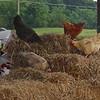 Free-roaming Chickens at Stuarts Draft Farm Market