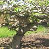 Unusual Shaped Tree - Boxerwood Nature Center and Woodland Gardens, Lexington, VA