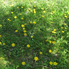 Field of Beautiful Dandelions - Boxerwood Nature Center and Woodland Gardens, Lexington, VA