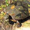Turtle - Boxerwood Nature Center and Woodland Gardens, Lexington, VA